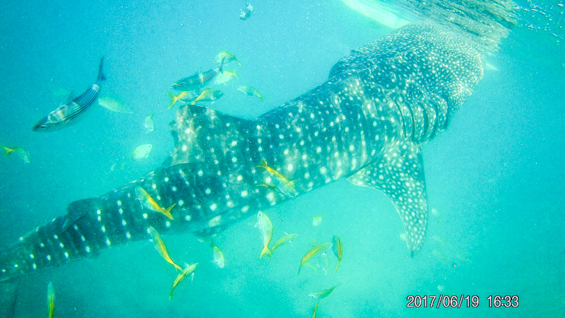 Swimming with Whalesharks in Oslob